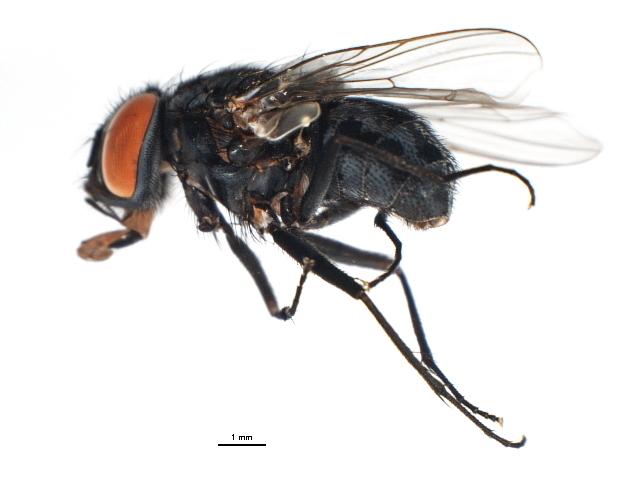 Image of <i>Graphomya minuta</i> Arntfield 1975