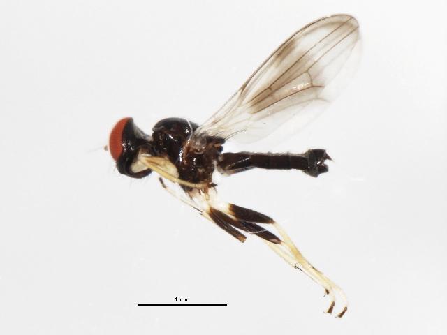 Image of <i>Cyamops nebulosus</i> Melander 1913