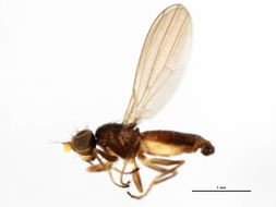 Image of <i>Anthomyza</i>