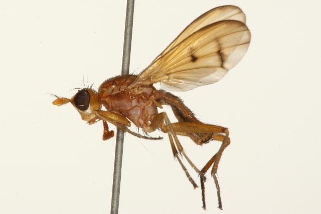 Image of <i>Tetanocera</i>