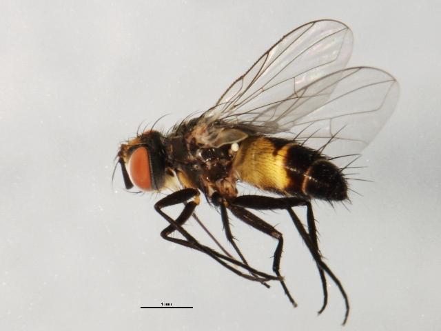 Image of Clausicella