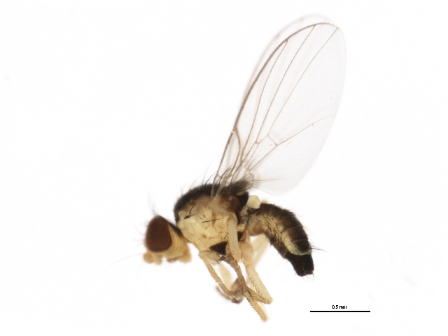 Image of <i>Phytoliriomyza pulchella</i> Spencer 1986