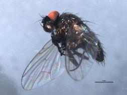 Image of <i>Hebecnema nigra</i> (Robineau-Desvoidy 1830)