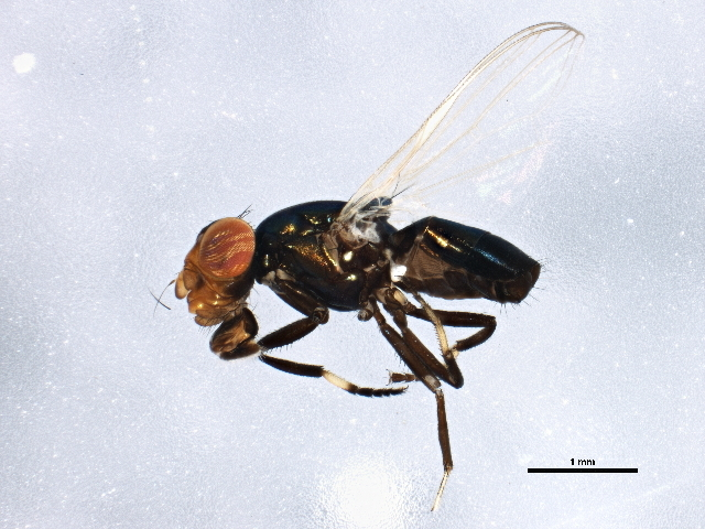 Image of Physiphora