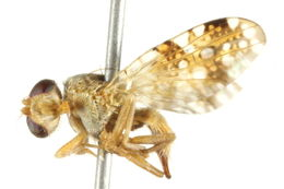 Image of sourbush seed fly