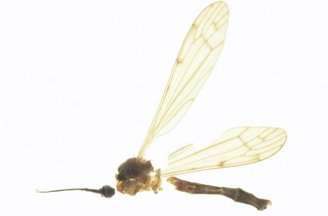 Image of Geranomyia