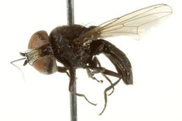 Image of Eusiphona