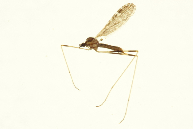 Image of Erioptera