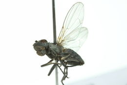 Image of Alkali Fly