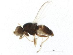 Image of canacid flies