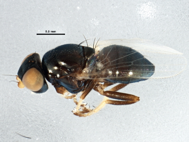 Image of Paraleucopis