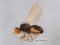 Image of chyromyid flies