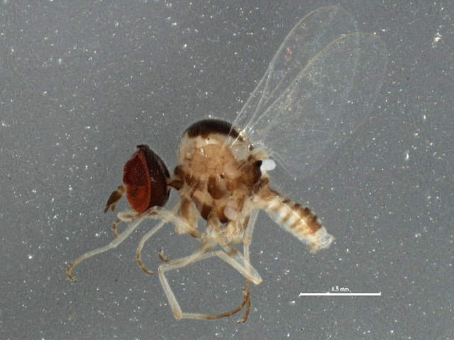 Image of micro bee flies