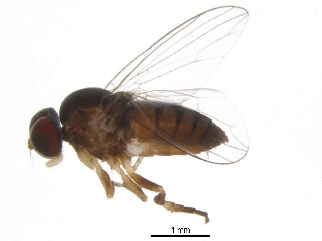 Image of flat-footed flies