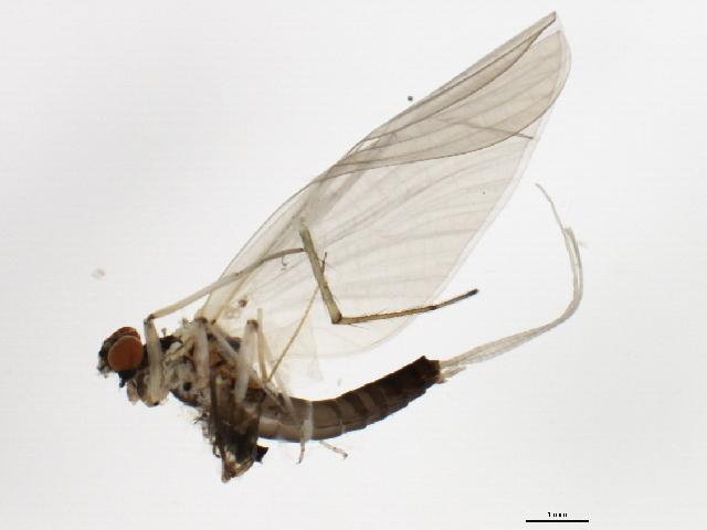 Image of <i>Paraleptophlebia vaciva</i> (Eaton 1884)