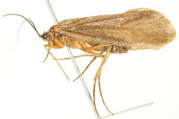 Image of <i>Hydatophylax hesperus</i> (Banks 1914)