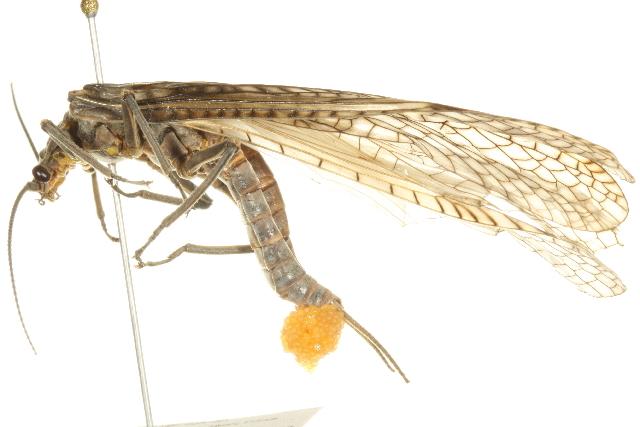 Image of <i>Pteronarcys dorsata</i> (Say 1823)