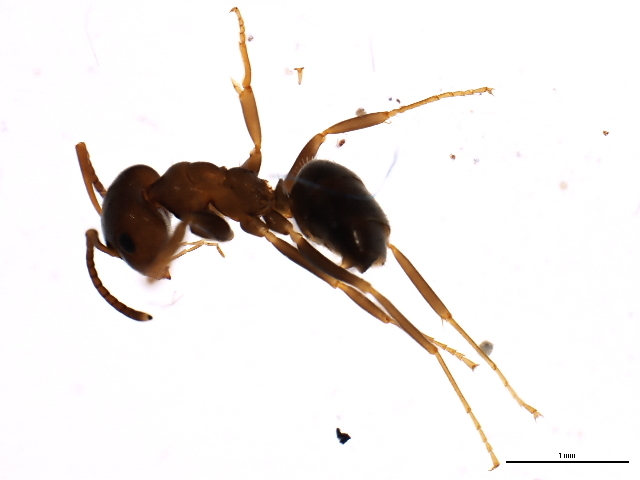 Image of Small black ant