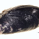 Image of Pacific blue mussel