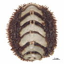 Image of Mossy chiton