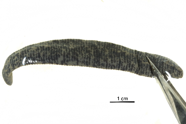 Image of Haemopidae