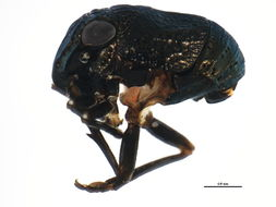 Image of <i>Bruchomorpha tristis</i> Stal 1862