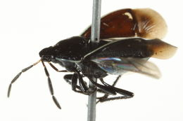 Image of <i>Sehirus cinctus albonotatus</i> Dallas 1851