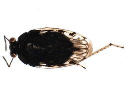 Image of <i>Saldula laticollis</i> (Reuter 1875)