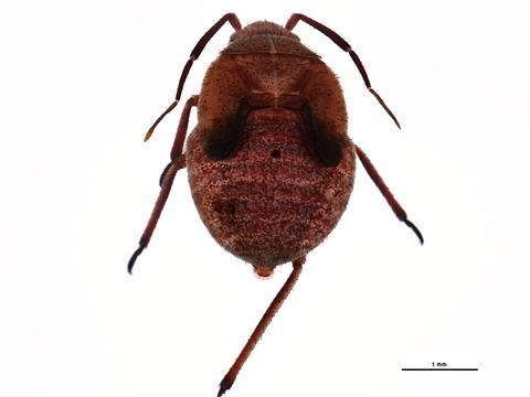 Image of <i>Polymerus basivittis</i> (Reuter 1909)