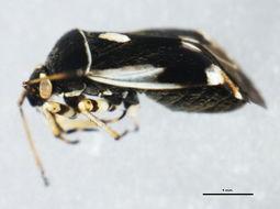 Image of <i>Polymerus unifasciatus</i> (Fabricius 1794)