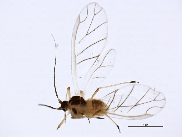 Image of Capitophorus