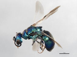 Image of <i>Elampus marginatus</i>