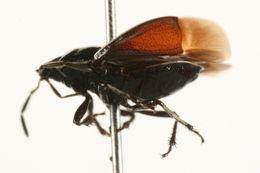 Image of <i>Sehirus <i>cinctus</i></i> cinctus (Palisot 1811)