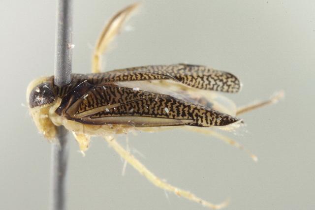 Image of <i>Trichocorixa borealis</i> Sailer 1948