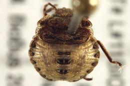Image of <i><i>Euschistus</i></i> (Euschistus) <i>ictericus</i> (Linnaeus 1763)