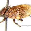 Image of Aphrophoridae