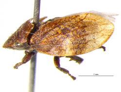 Image of Aphrophorinae