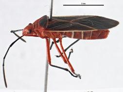 Image of <i>Dysdercus</i>