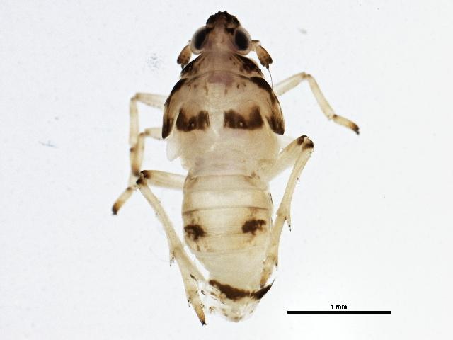 Image of <i>Megamelus davisus</i>