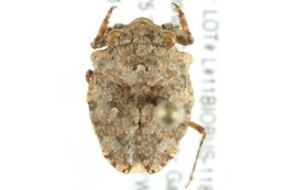 Image of <i>Gelastocoris</i>