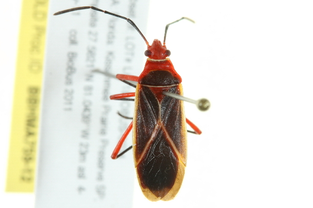 Image of cotton stainer bug