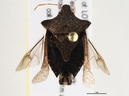 Image of <i><i>Euschistus</i></i> (Euschistus) <i><i>tristigmus</i></i> tristigmus Say 1832
