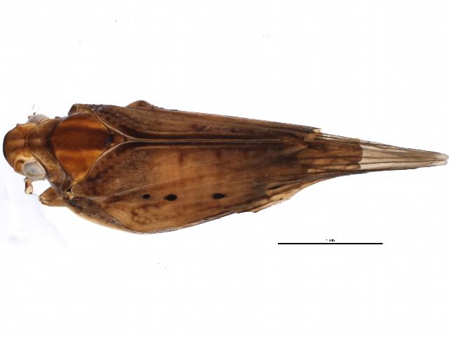 Image of Cyarda