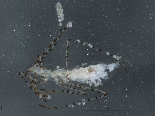 Image of <i>Gampsocoris decorus</i> (Uhler & P. R. 1893)