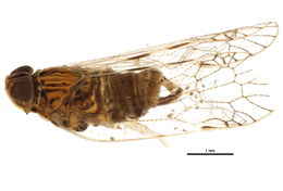 Image of Oecleus