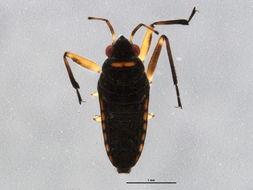 Image of <i>Microvelia</i>