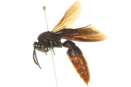 Image of Triscolia