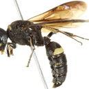 Image of <i>Cerceris fumipennis</i> Say 1837