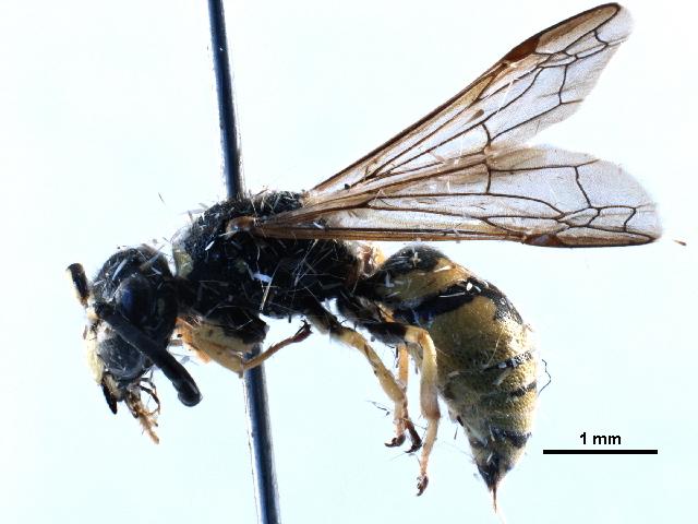 Image of <i>Euodynerus foraminatus-group</i>