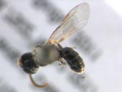 Image of <i>Lasioglossum subobscurum</i> (Cockerell 1895)